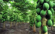 Mamão Papaia – Propriedades e Benefícios
