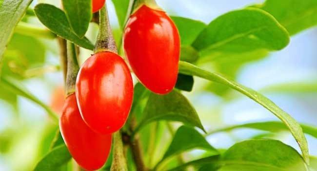Superalimento Goji Berry – Beneficios e Receita