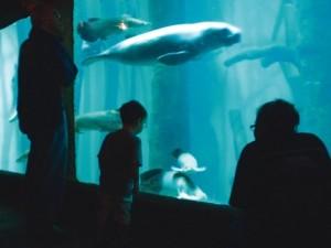 aquario-de-sao-paulo-peixe-boi