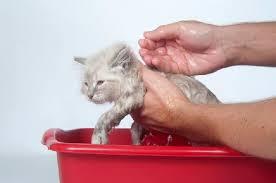 como-dar-banho-em-gato
