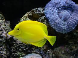 peixe-amarelo