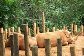 rinoceronte-zoo-sp