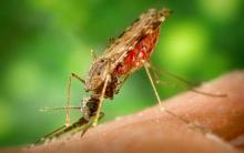 Parasita Plasmodium Falciparum – Sintomas, Infecção, Causas E Transmissão.