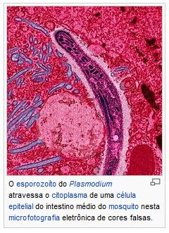 Parasita plasmodium falciparum 3– sintomas, infecção, causas e transmissão.