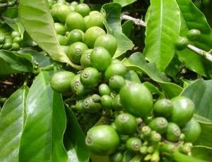 graos-de-cafe-verde