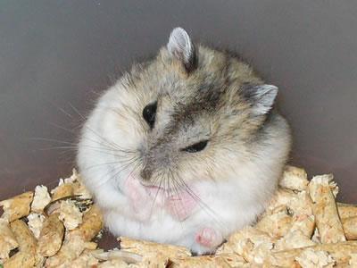 hamster-anao
