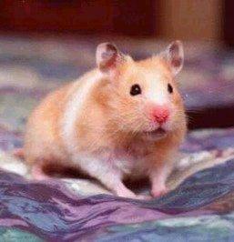 hamster-dourado
