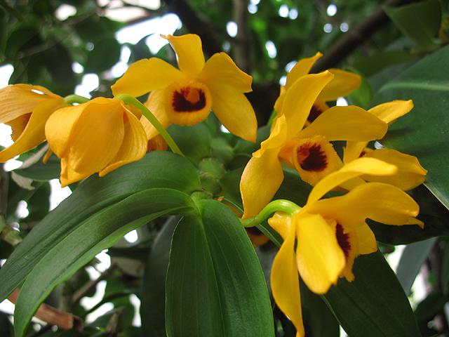 orquidea-dendrobrium