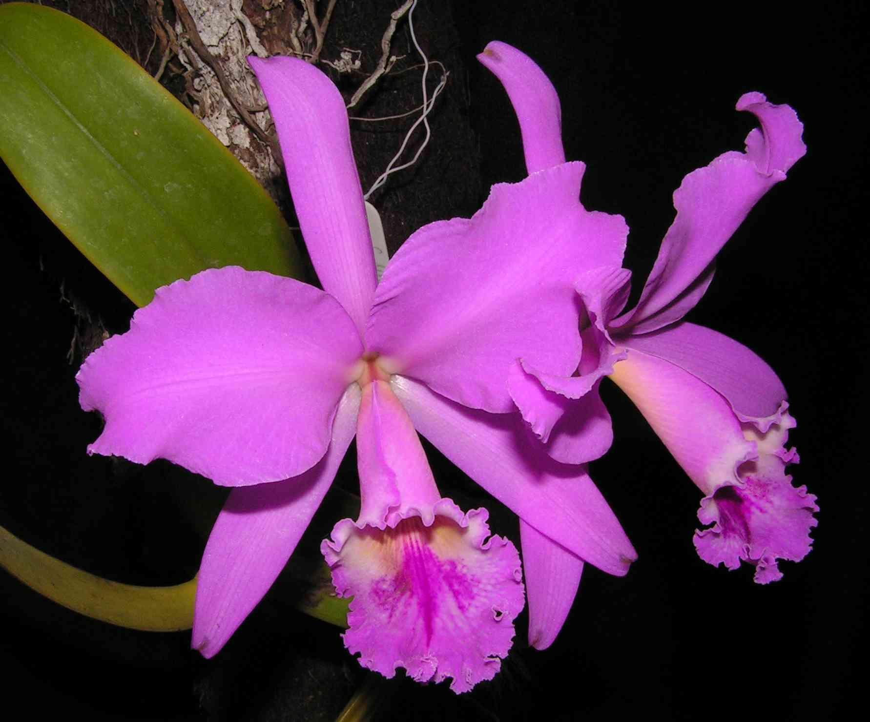 Como Cuidar de Orquídeas - Espécies e Segredos - Dicas e Cuidados