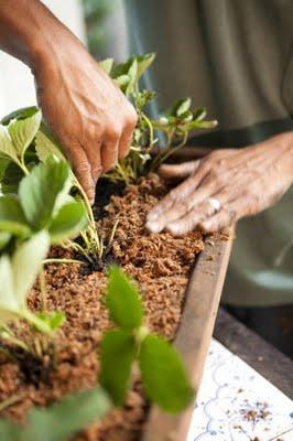 Como cultivar morangos em casa dicas para plantar e cuidados for Como cultivar peces en casa