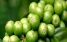 Benefícios Óleo de Café Verde – Quais São e Como Usar