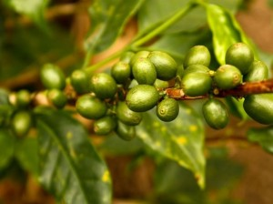 beneficios-do-oleo-de-cafe-verde