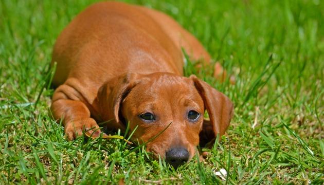 Depressão em Cachorro – Causas, Sintomas e Tratamento