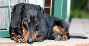 cachorro-carrapato-doenca