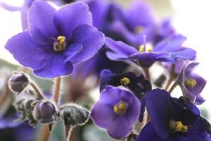 violetas-cuidados-e-como-plantar
