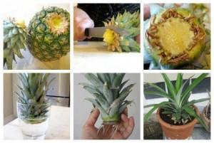 Alimentos-Como-Replantar-Novamente- abacaxi
