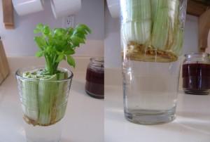 Alimentos-Como-Replantar-Novamente-aipo
