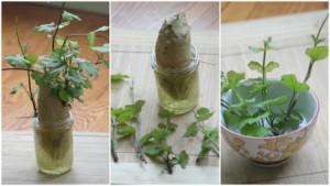 Alimentos-Como-Replantar-Novamente-batatas