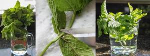 Alimentos-Como-Replantar-Novamente-hortela