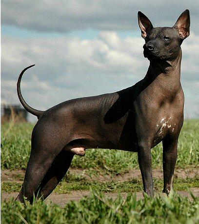 Xoloitzcuintli-cão-raros