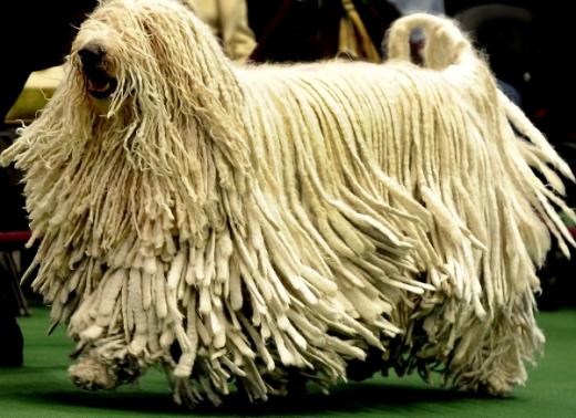 cães-raro-Komondor