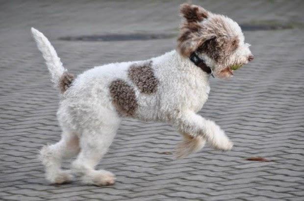 cães-raro-Lagotto Romagnolo