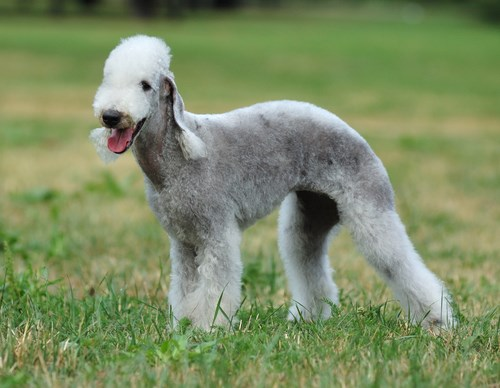 cães-raros-BedlingtonTerrier