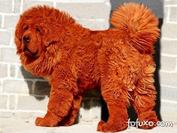 mastim-tibetano-cão-raro