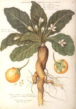 Jardim-venenoso-mandragora