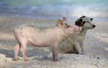 Porcos Espertos Como os Cães – Dizem Cientistas – Vídeo
