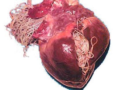 dirofilariose-coração