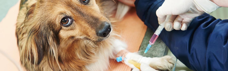 Dirofilariose Doença Canina – O que é, Sintomas, Diagnóstico e Como tratar