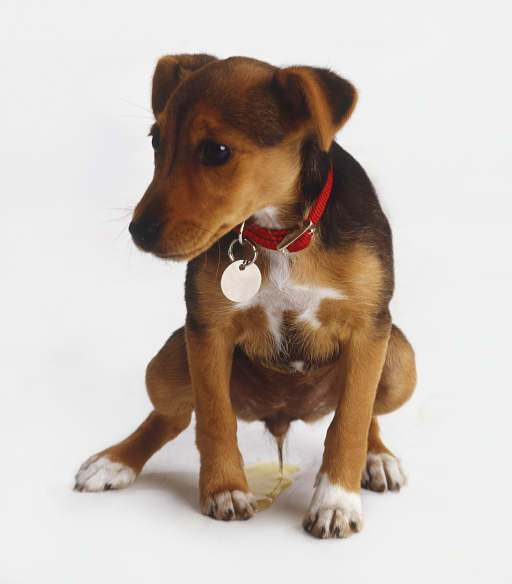 Cheiro-de-Cachorro