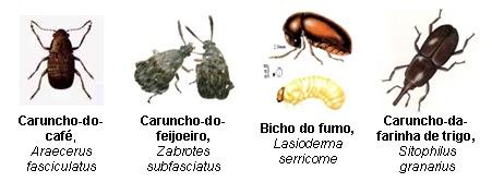 feijão-bichos