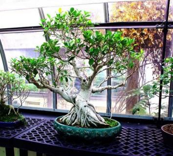 bonsai-jan