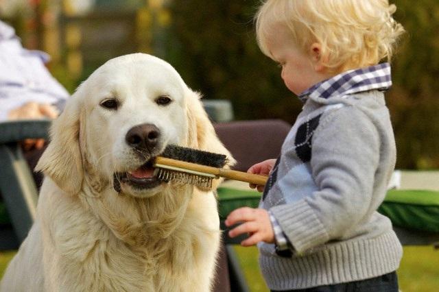 Cachorros Dóceis golden