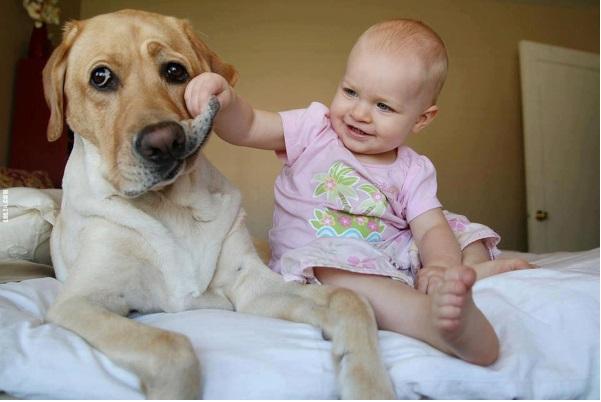 Cachorros Dóceis labrador