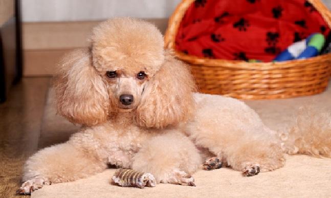 Cachorros Dóceis poodle