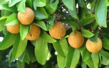Sapoti a Fruta Tropical – O Que é e Principais Benefícios