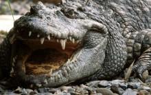 Óleo de Crocodilo – O Que É e Seus Benefícios