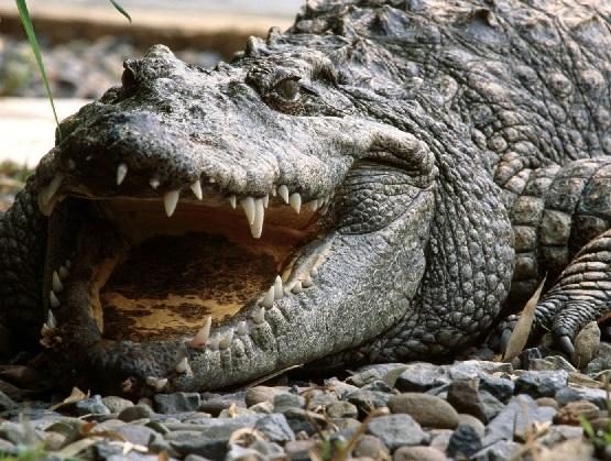 Óleo de Crocodilo