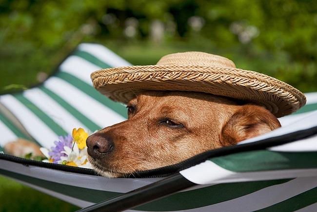 Cuidados Com os Cães no Verão idoso