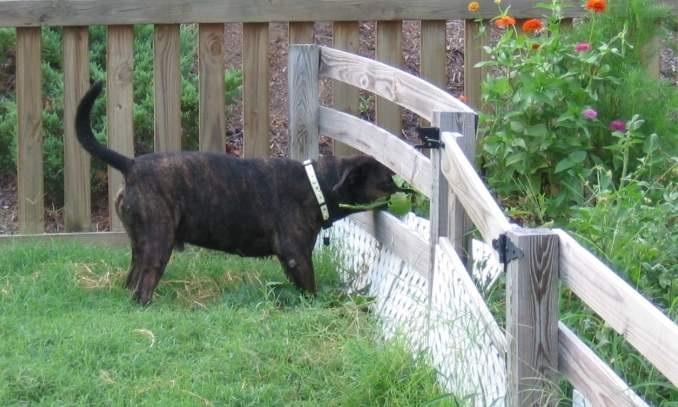 Cuidados Com os Cães no Verão preso