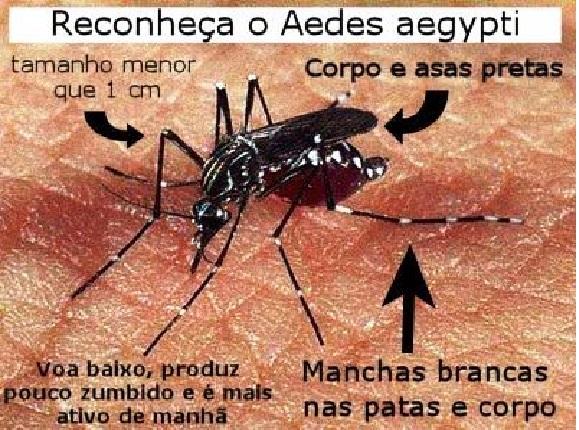 Mosquito Aedes foto