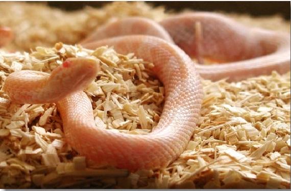 Animais exóticos de estimação cobra