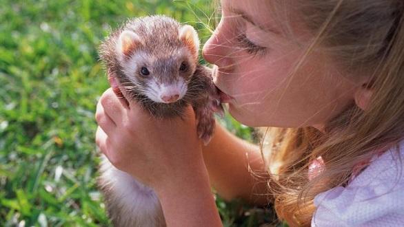 Animais exóticos de estimação furão