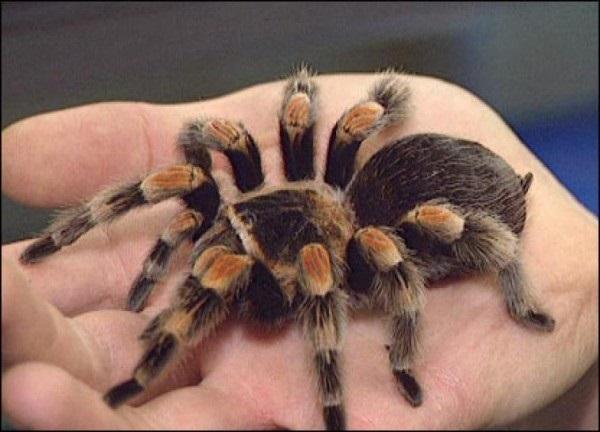 Animais exóticos de estimação tarantula