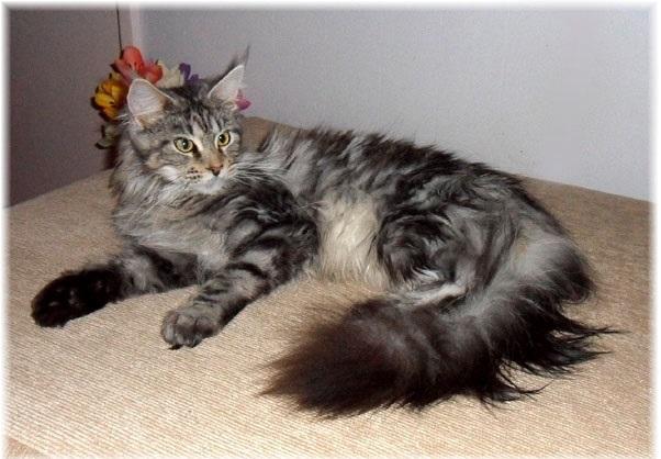 Gato Gigante Maine