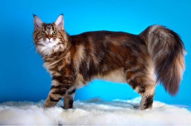 Gato Gigante Raça Maine pelo