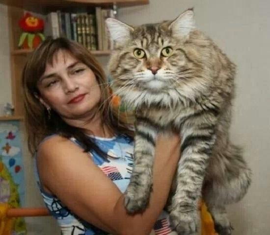Gato Gigante Raça